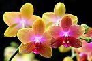 Orchids so Wonderful by Jo Nijenhuis