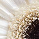 Gerbera In Cream by Crystal Zacharias