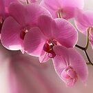 Pink Beauty by DAntas