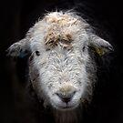 Bedraggled Herdwick Sheep by Phil Buckle