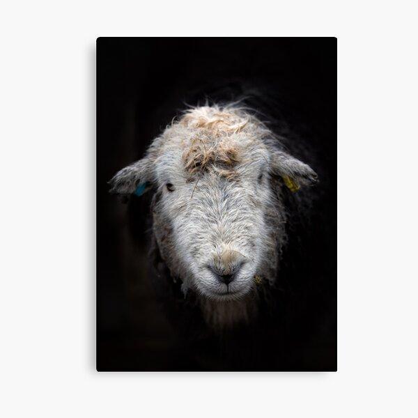 Bedraggled Herdwick Sheep Canvas Print