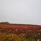 A field of Iceplant by NancyC