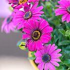 pink  daisy in bloom in spring von spetenfia