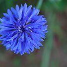 blue corn flower by Tracey Hampton