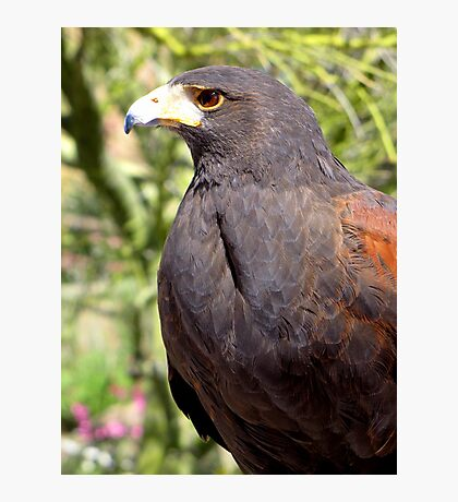 Harris's Hawk ~ Profile  Photographic Print