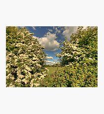 Whitethorn Hedge Photographic Print