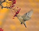 The waxwing and the berry part 2 the grab by Grandalf