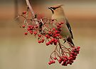waxwing and the berries by Grandalf