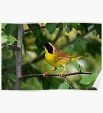 Common YellowThroat Warbler 10 Poster