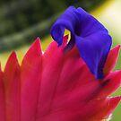 Tillandsia growing in Drouin, Victoria by Bev Pascoe