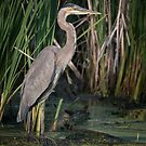 Great Blue Heron ready to fish by Eivor Kuchta