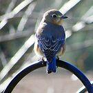 Happy Bluebird by Judy Wanamaker