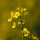 Fields of Gold by inglesina