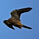 Kestrel by Russell Couch