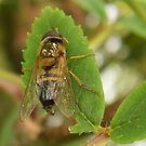 Hygenic Hoverfly by sarnia2