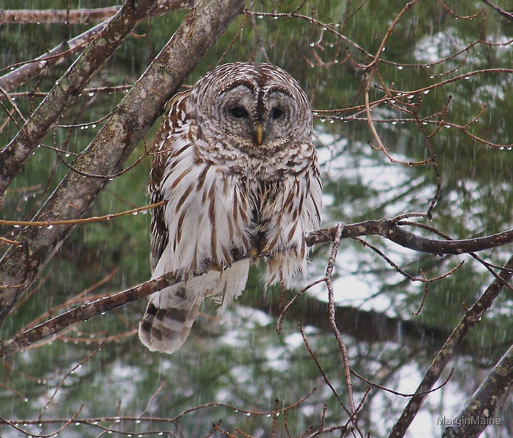 Barred Owl - A Little Wet by MaryinMaine