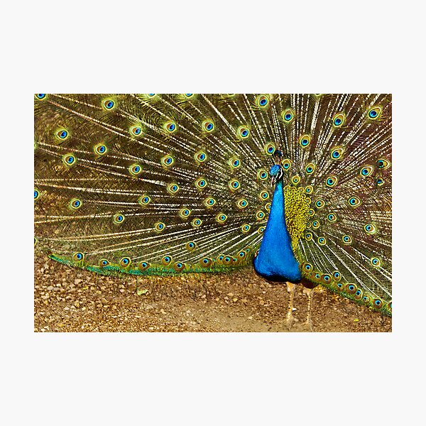 pavo real 2 Photographic Print