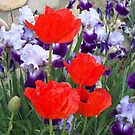 Iris' and Poppies by cdcantrell