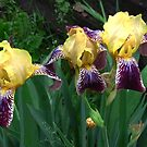 The Yellow Three by Linda Miller Gesualdo