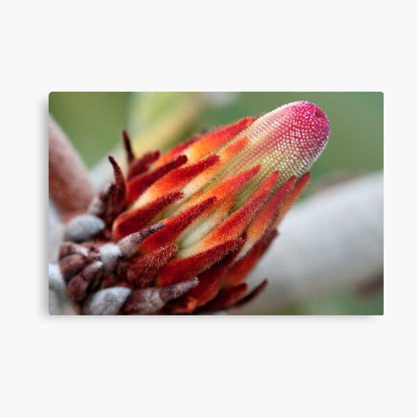 Banksia robur Metal Print