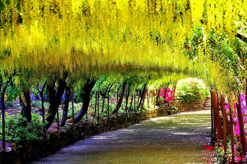 Seductive Laburnum Arch Bodnant Gardens    Art Prints By Rayworsnop  With Fair Laburnum Arch Bodnant Gardens   By Rayworsnop With Agreeable Shabby Chic Garden Accessories Also Trentham Gardens Ice Rink In Addition Trentham Garden Centre Opening Times And Garden Centre Wigan As Well As White Garden Pots Uk Additionally Garden Centre Hungerford From Redbubblecom With   Fair Laburnum Arch Bodnant Gardens    Art Prints By Rayworsnop  With Agreeable Laburnum Arch Bodnant Gardens   By Rayworsnop And Seductive Shabby Chic Garden Accessories Also Trentham Gardens Ice Rink In Addition Trentham Garden Centre Opening Times From Redbubblecom