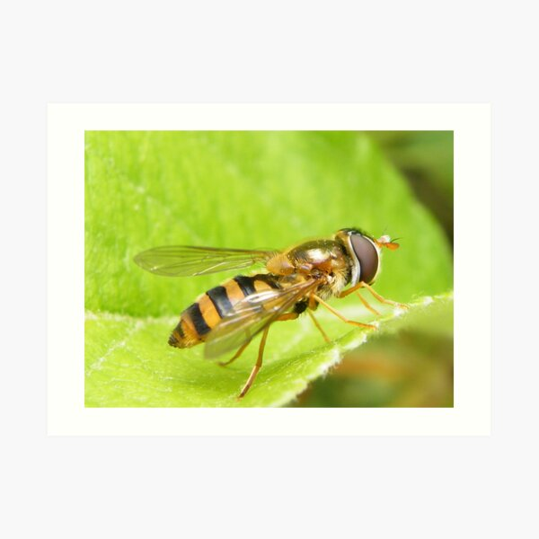 Syrphid fly Art Print