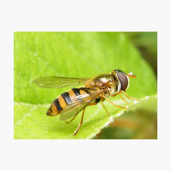 Syrphid fly Photographic Print