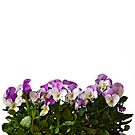 Violas border by friendlydragon