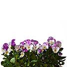 Violas border by friendlydragon