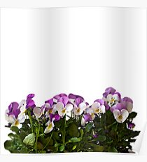 Violas border Poster