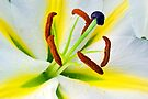 Lily stamens by friendlydragon