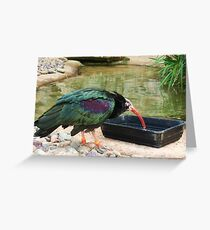 Northern Bald Ibis Greeting Card