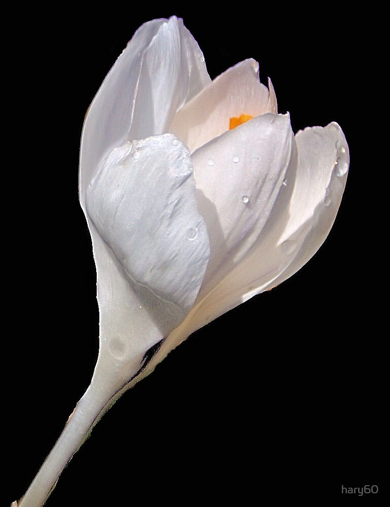 White Crocus by hary60