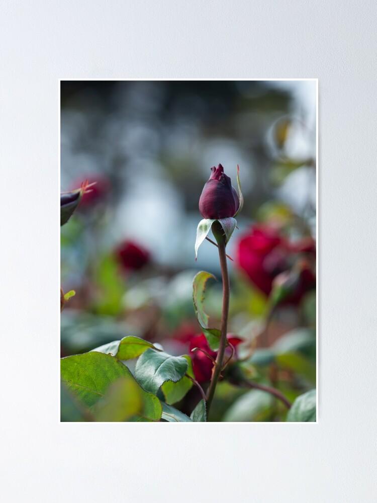 Velvet Red Single Rose Stem Poster By Crissyimagery Redbubble