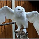 Snowy owl by hary60