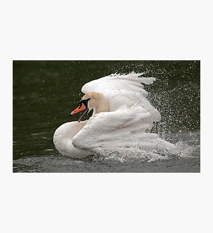 Swan wash Photographic Print