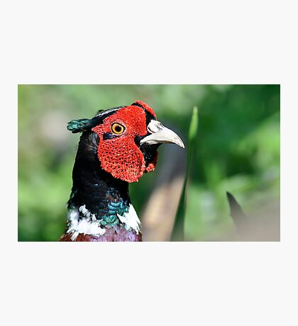 Colour for the pheasant Photographic Print