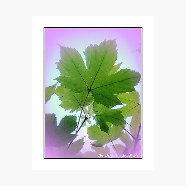 """Maple"" Photographic Print"