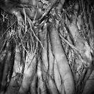 fig tree roots - fern pool, karijini by col hellmuth