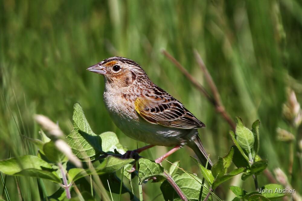 Grasshopper Sparrow by John Absher