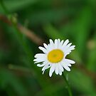 Mom's Daisy by Corkle