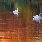 Swan Dream by Kirstyshots