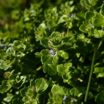 Ivy-leaved Speedwell (Veronica hederifolia) by IOMWildFlowers