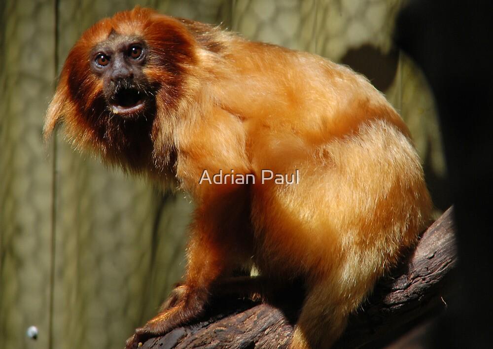 Golden-Lion Tamarin (Leontopithecus rosalia) by Adrian Paul