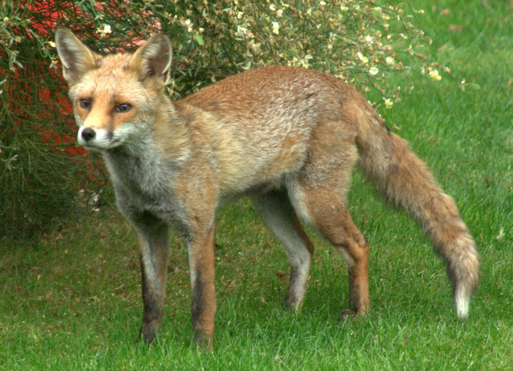 Miss Foxy II by John Thurgood