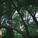 Kookaburra.  by RVRFNX