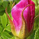 Dog rose- Happy Birthday Greeting Card by sarnia2