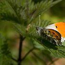 Orange tip by Dave Warren