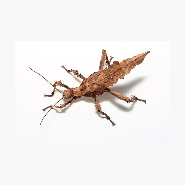 stick insect on white birds eye view Photographic Print