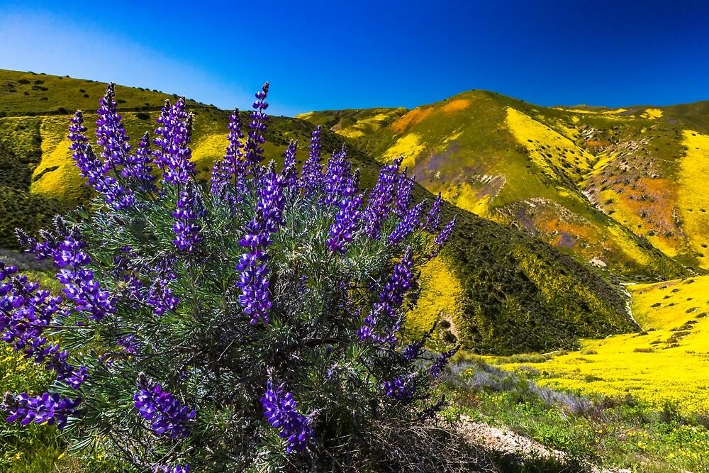 Grape Soda Lupine on The Carrizo Plain Spring 2019 by photosbyflood